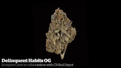 Delinquent Habits OG         Scorpion Crew in collaboration with BC Bud Depot